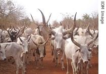 Dinka Cattle